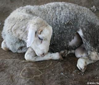 oman-al-batina-livestock-market-1024x681